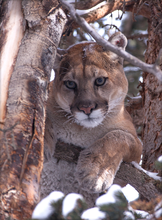 """A 2018 study found that a """"perfect policy storm"""" led to a decline in mountain lions of nearly 50% around Jackson, Wyoming. Image by Duncan Parker/Panthera."""