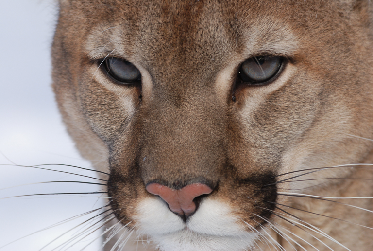 A collared mountain lion in Wyoming. Image by Mark Elbroch/Panthera.