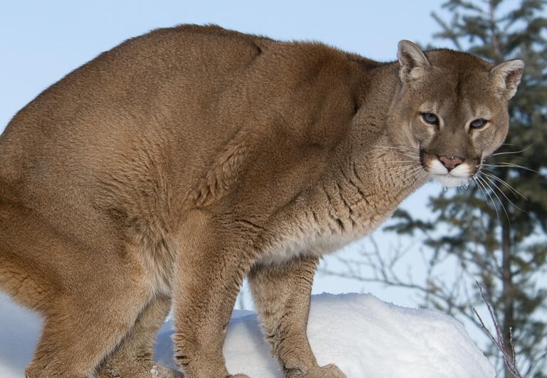 In other research, scientists show that reducing mountain lion numbers to increase deer and elk numbers for hunters may not have the intended effects. Image by Mark Elbroch/Panthera.