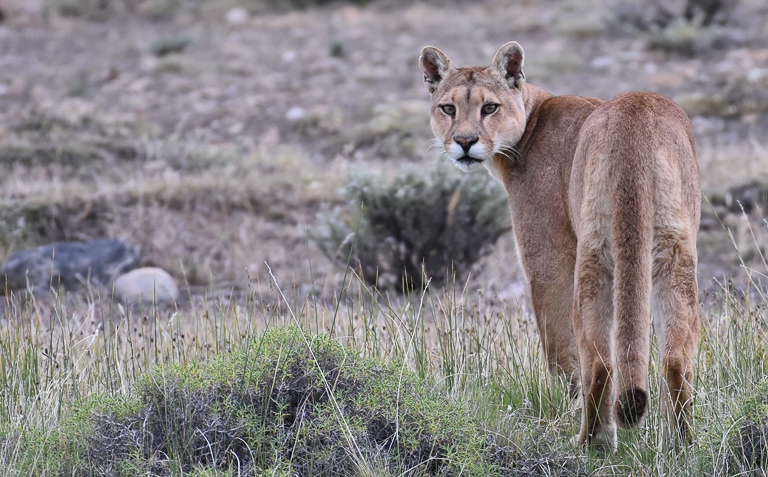 Elbroch's research suggests that mountain lions may be ecosystem engineers. Image by Mark Elbroch/Panthera.