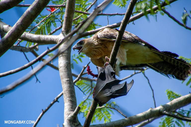 A Papuan eagle (Harpyopsis novaeguineae) with a fruit bat in Papua New Guinea. The island's botanical richness underpins its wildlife diversity. Image by John C. Cannon/Mongabay.