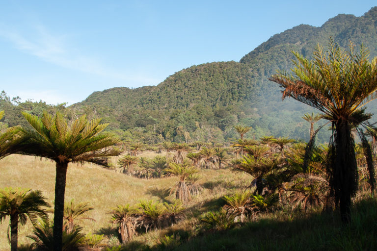 a tree fern savanna in the Cromwell Mountains of Papua New Guinea courtesy of the Royal Botanic Gardens, Kew.