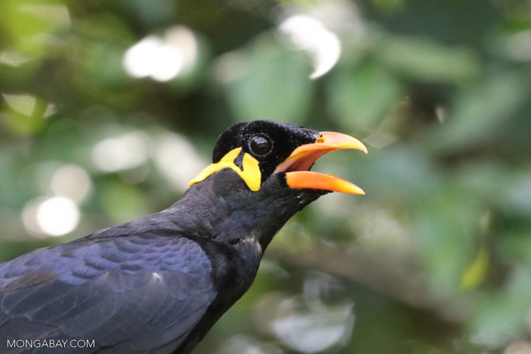 Common hill myna large 768x512.
