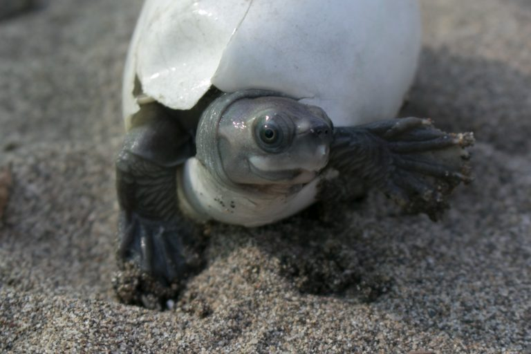 Burmese roofed turtle moments after emerging from an egg collected from a sandbank along the Chindwin River and incubated at a head-starting facility in Limpha village, Sagaing region, Myanmar. Photo by Myo Min Win/WCS Myanmar (Platt et al 2020).