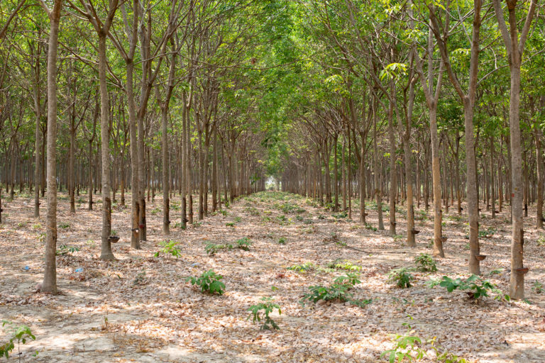 Inside a sprawling rubber plantation in one of Cambodia's numerous Economic Land Concessions. Photo by Chris Humphrey for Mongabay.
