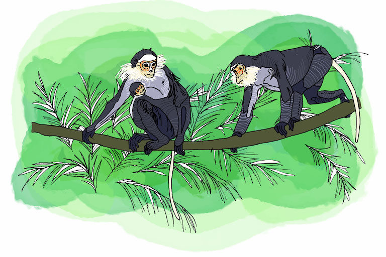 Jungle within the sanctuary's 3,000-square-kilometer boundary supports the world's largest known populations of several endangered species, including the black-shanked douc langur. Illustration by Zoe Osborne for Mongabay.