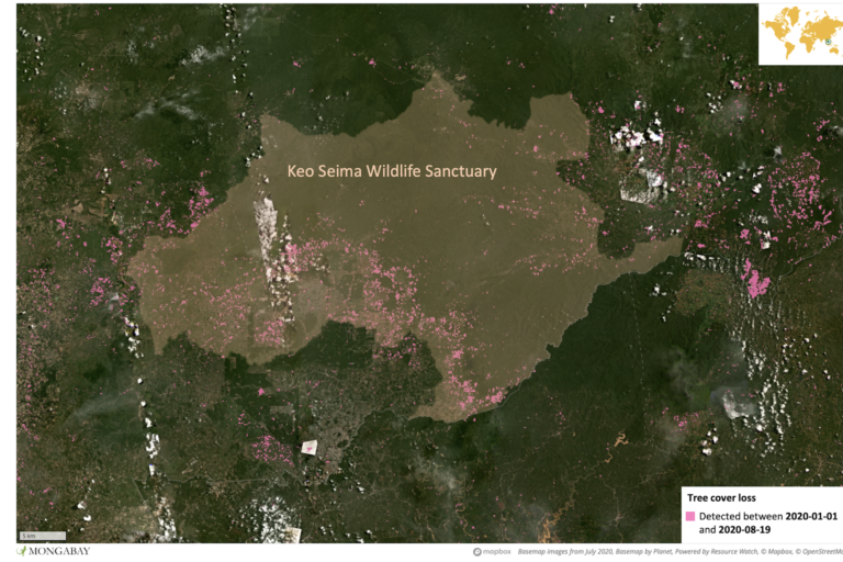 Satellite data from the University of Maryland show large areas of tree cover loss in Keo Seima Wildlife Sanctuary this year.