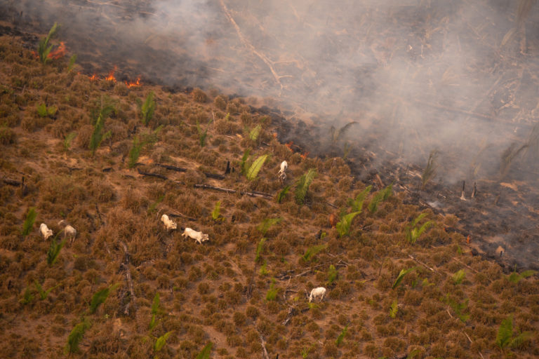 Cattle next to heat spots in Lábrea, Amazonas state. Taken 17 Aug, 2020. CREDIT: © Christian Braga / Greenpeace