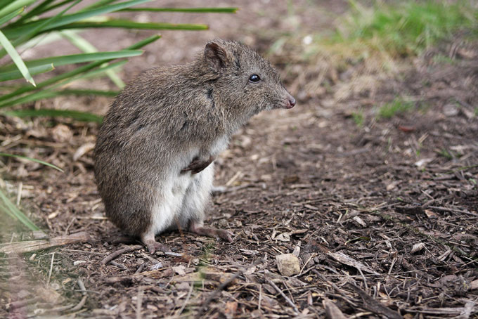 The northern long-nosed potoroo, a tiny truffle-eating marsupial, had its entire habitat in northern New South Wales wiped out by a fire in October 2019. Photo by Leo via Flickr (CC BY-NC-SA 2.0).