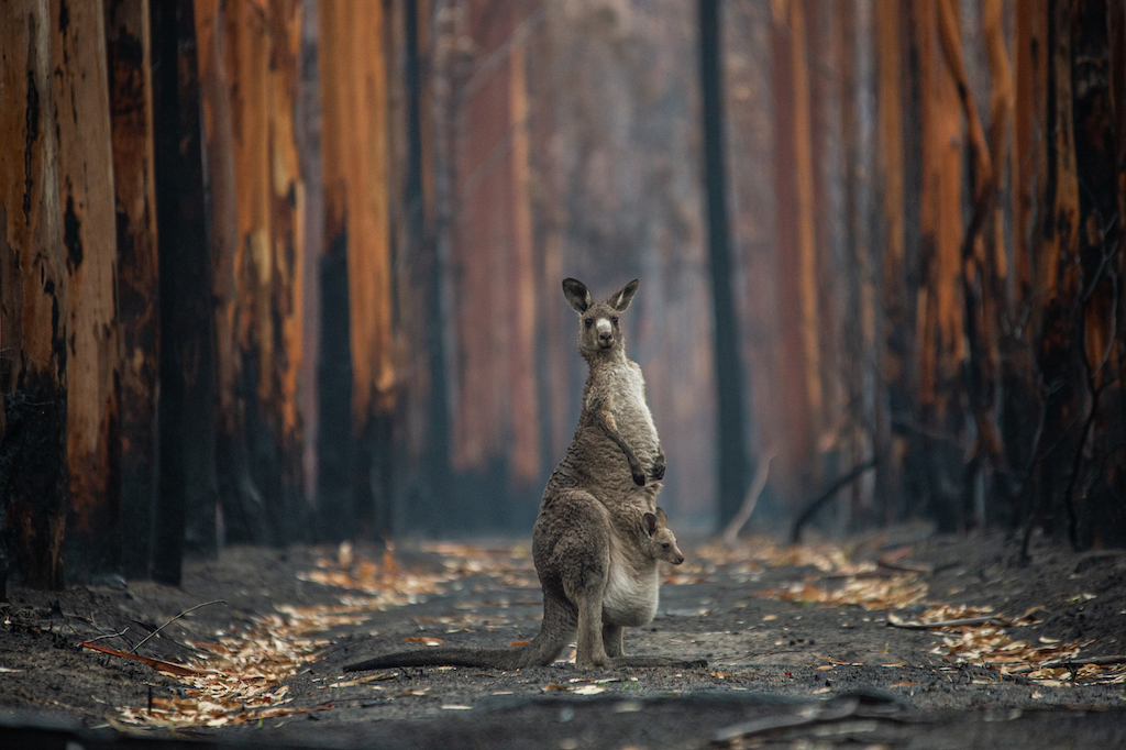 An Eastern grey kangaroo and her joey who survived the forest fires in Mallacoota. Australia, 2020. Jo-Anne McArthur / We Animals