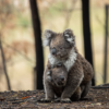 A mother koala and her joey who survived the forest fires in Mallacoota. Australia, 2020. Photo by Jo-Anne McArthur / We Animals