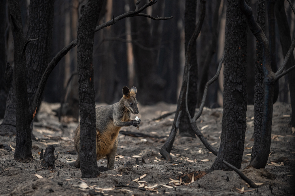A lone wallaby foraging for food in a burned forest outside Mallacoota, Australia. Photo by Jo-Anne McArthur / We Animals