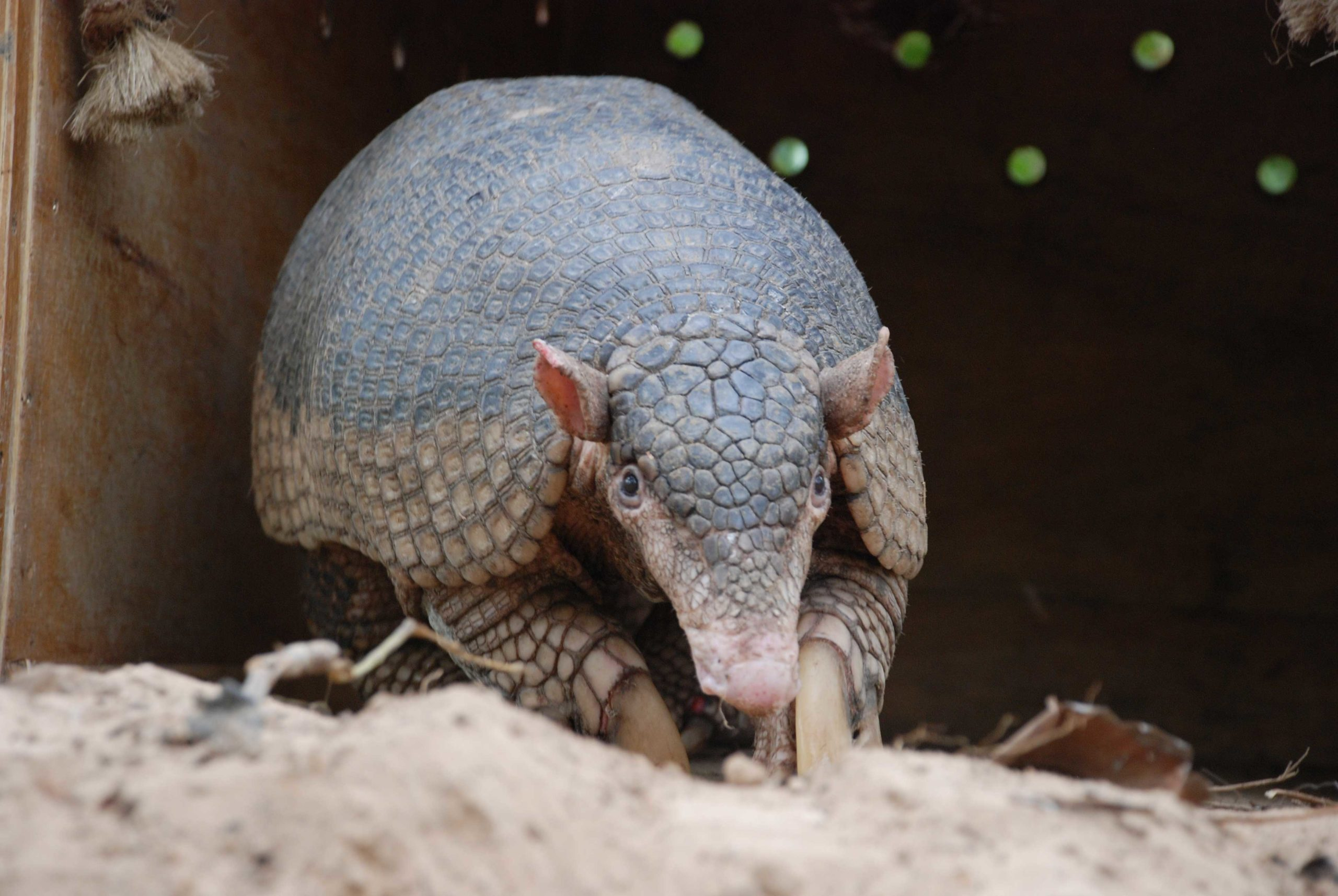 In search of the 'forest ghost,' South America's cryptic giant armadillo