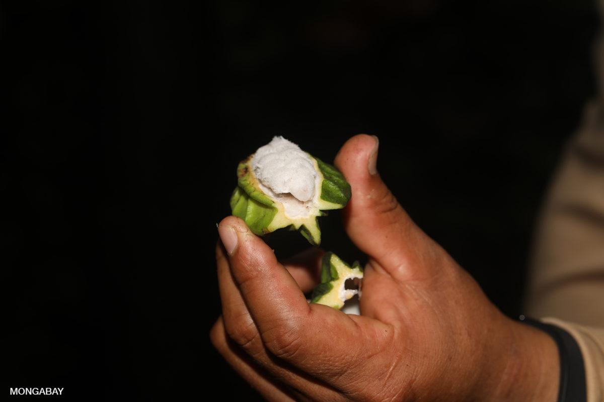 Cacao pod in Peru. Photo by Rhett A. Butler.