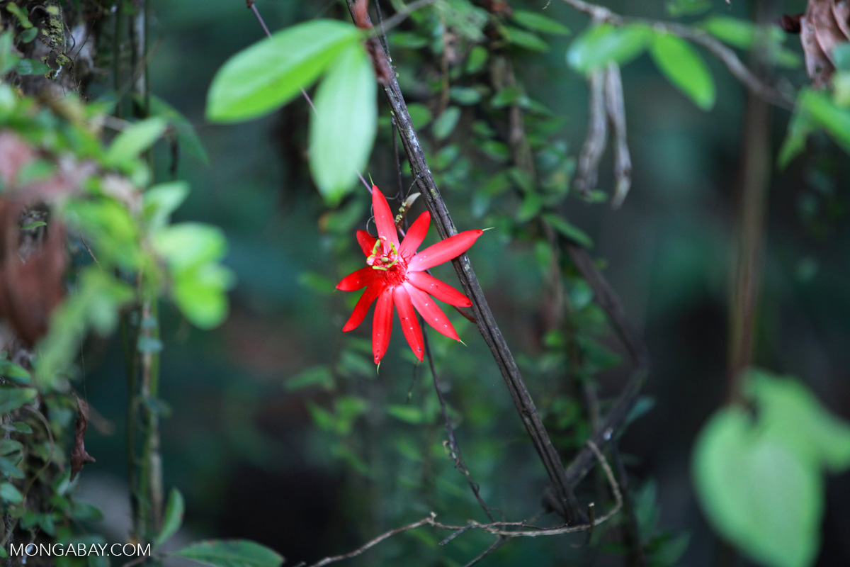 Red passion vine flower in the Colombian Amazon. Photo by Rhett A. Butler.