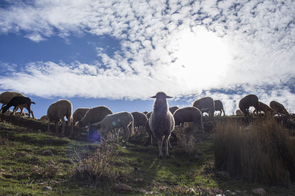 Sheep on a hillside. Image by John Wendle for Mongabay.