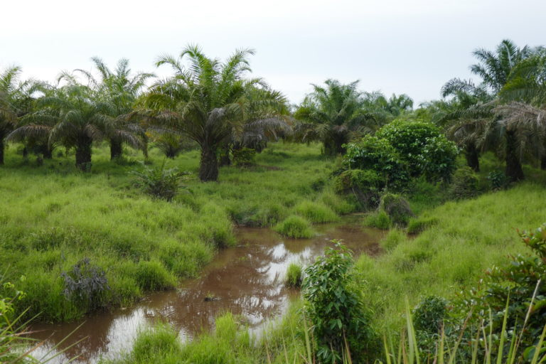 Oil palms being grown in a flood-prone swamp area. Image courtesy of Jennifer Merten.