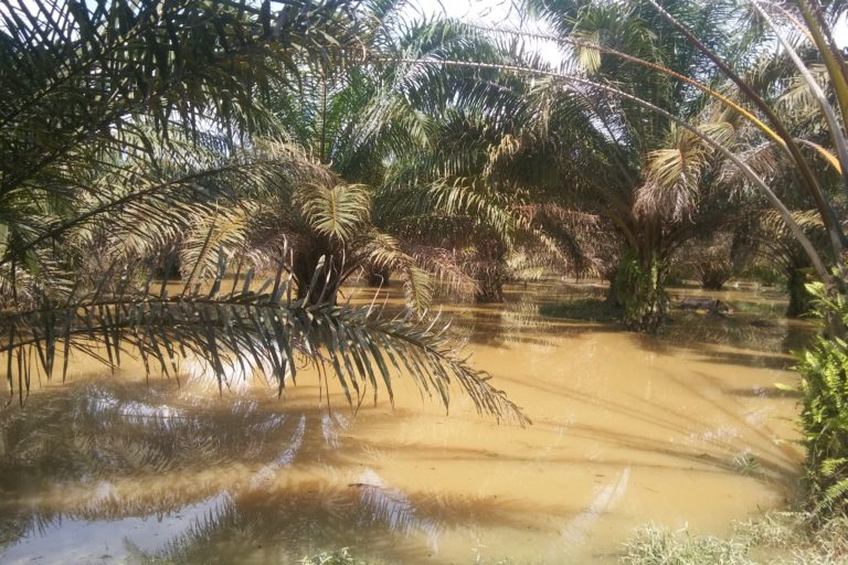 Flooded oil palm plantation. Image courtesy of Clara Zemp.