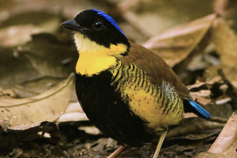 Male Gurney's pitta (Hydrornis gurneyi). Image by Michael Gilliam via Wikimedia Commons (CC 2.0).