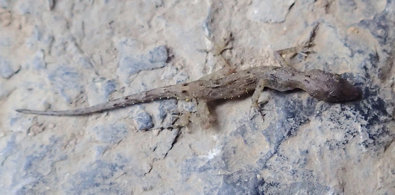The newly described Tanintharyi rock gecko (Cnemaspis tanintharyi) photographed on the limestone karst outcrop where it was discovered. This gecko represents one of several reptile species that call the proposed Lenya National Park home. Image by Dan Mulcahy.