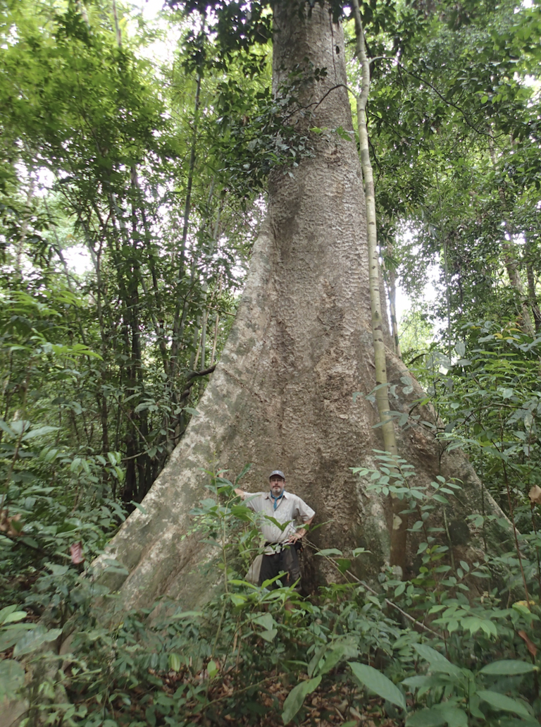 Smithsonian biologist Dan Mulcahy in the buttress of a large dipterocarp tree in the proposed Lenya National Park Extension. These trees provide essential habitat for geckos and other small animals. Image by Myint Kyaw Thura.