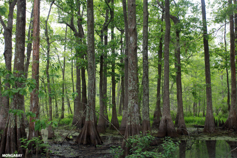Lacassine National Wildlife Refuge in Cameron and Evangeline Parishes in southwestern Louisiana is managed by the U.S. Fish and Wildlife Service. Photo by Rhett A. Butler.