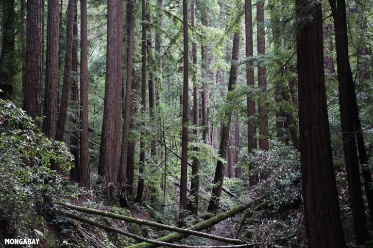 Redwood forests are among the ecosystems protected in California'a public lands. Photo by Rhett A. Butler