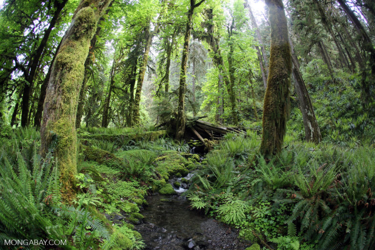 Temperate rainforest in Olympic National Park. Photo by Rhett A. Butler.