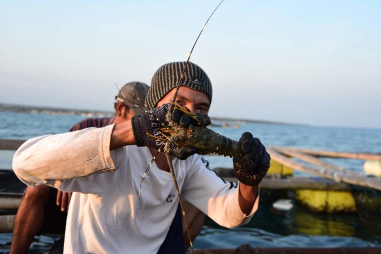 Nasrullah, a fisherman from Lombok island, shows one of the lobsters raised in his aquafarm. Image by Fathul Rakhman/Mongabay-Indonesia.