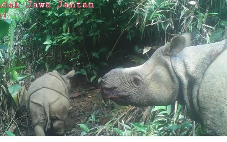 Two new Javan rhino calves are spotted in the species' last holdout
