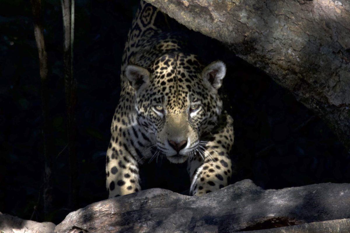 For the Pantanal's jaguars, fires bring 'death by a thousand needle wounds'