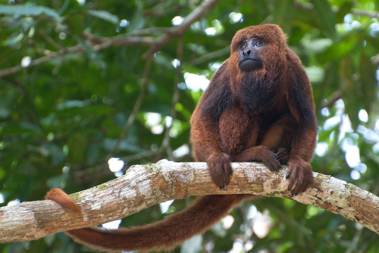 'A brown howler money (Alouatta guariba) in Brazil. Image by Peter Schoen via Wikimedia Commons (CC BY SA 2.0)