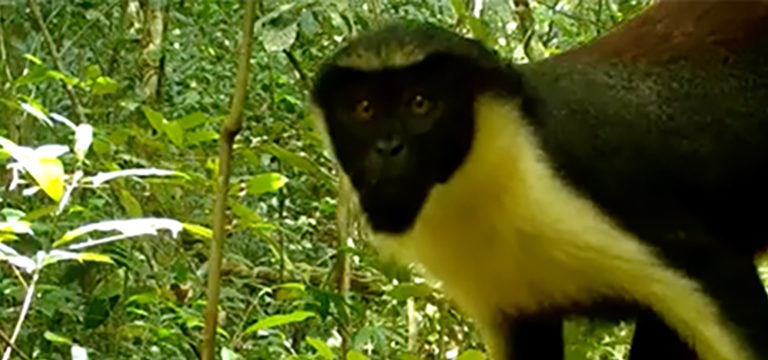 Still image from footage of a Wild Chimpanzee Foundation camera trap set up in Grebo-Krahn National Park in Liberia, showing a Diana Monkey (Cercopithecus diana).