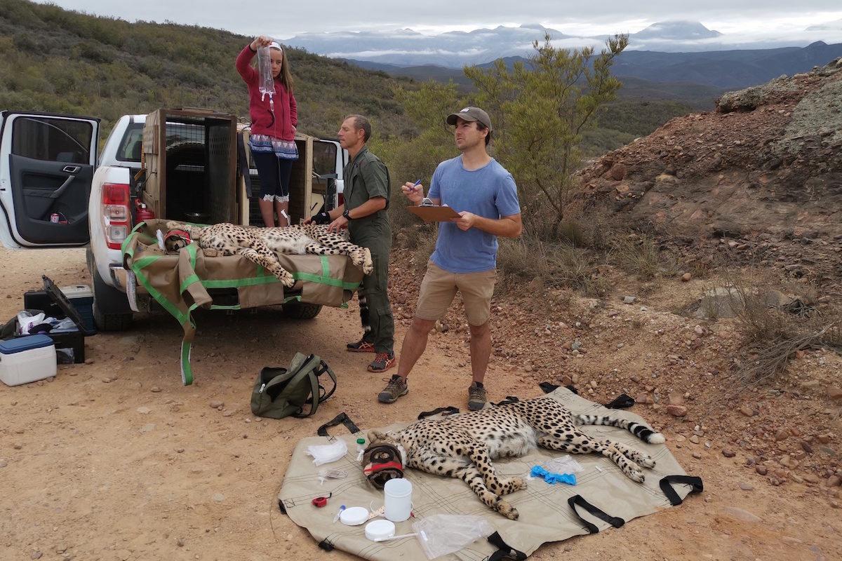 Vincent van der Merwe at a cheetah translocation. Image courtesy Endangered Wildlife Trust.
