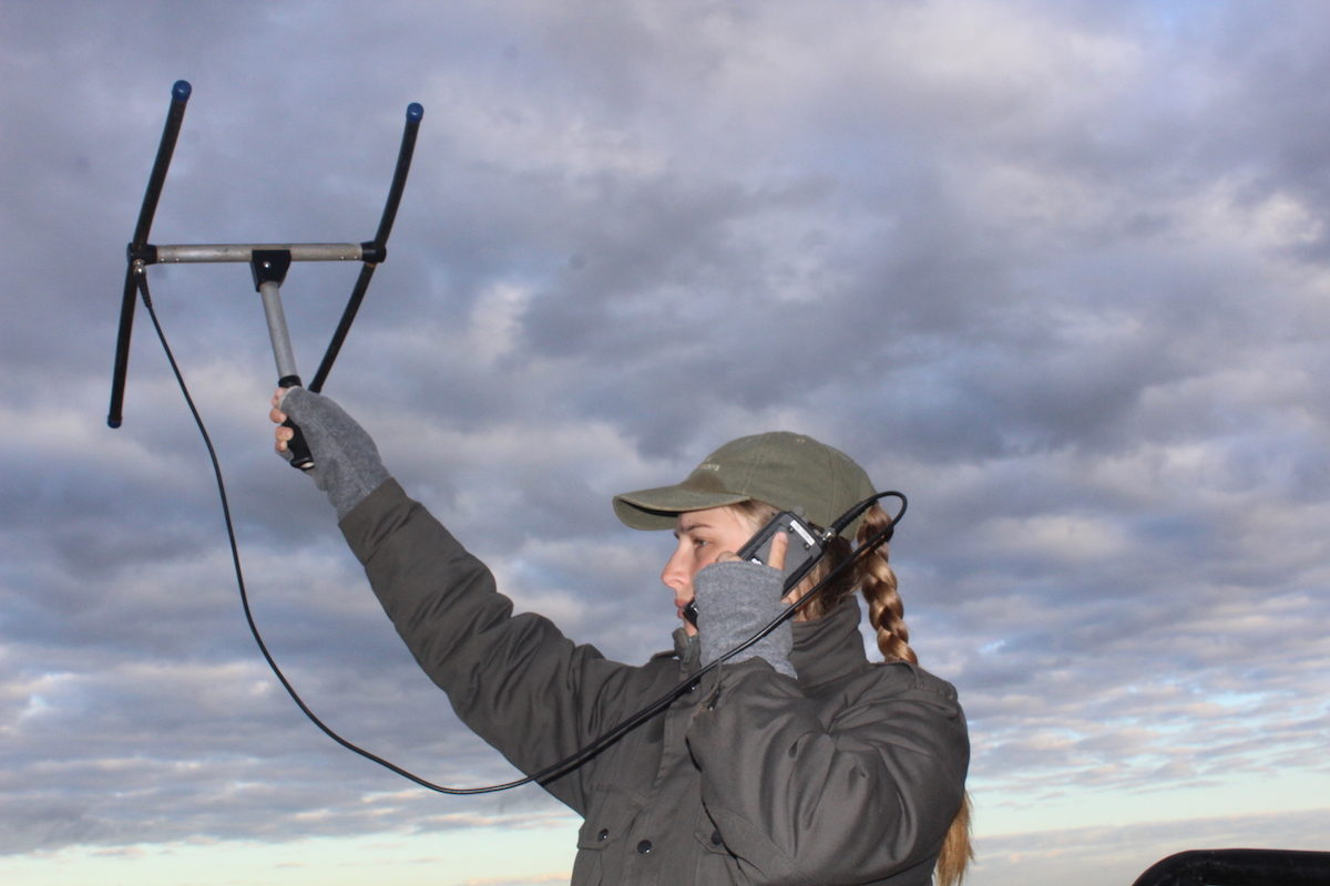 Charli de Vos uses a VHF antenna to locate cheetahs in Phinda Game Reserve. Image by Tony Carnie for Mongabay.