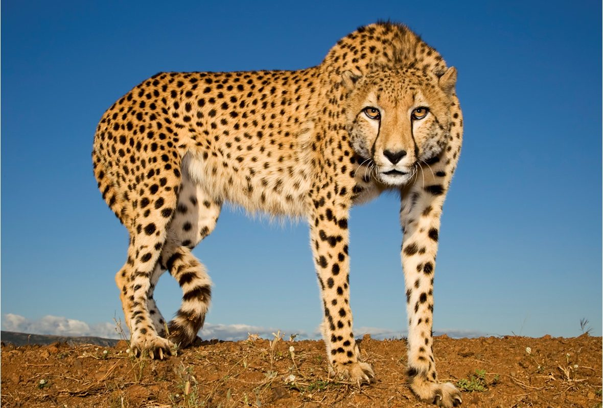 Cheetah Will Be Brought Back From Extinction In India, Says Govt.