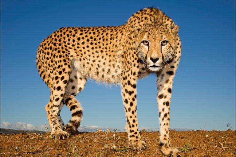 Cheetah at Zimanga private game reserve. Image by Charl Senekal