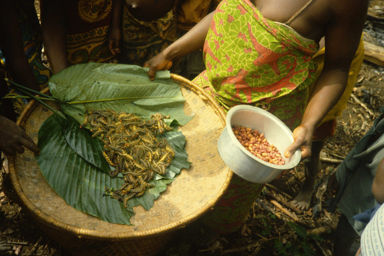 In northeastern DR Congo, as in many places around world, the forest produces a bounty of delicious and nutritious caterpillars that are a seasonally important food for Indigenous Peoples and Local Communities. Photo © David Wilkie/WCS