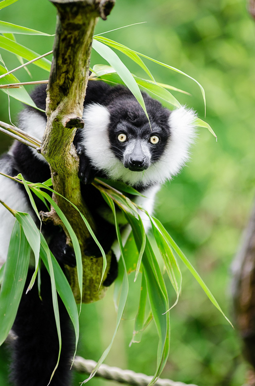 A black and white ruffed lemur in Madagascar. Image by skeeze via Pixabay.