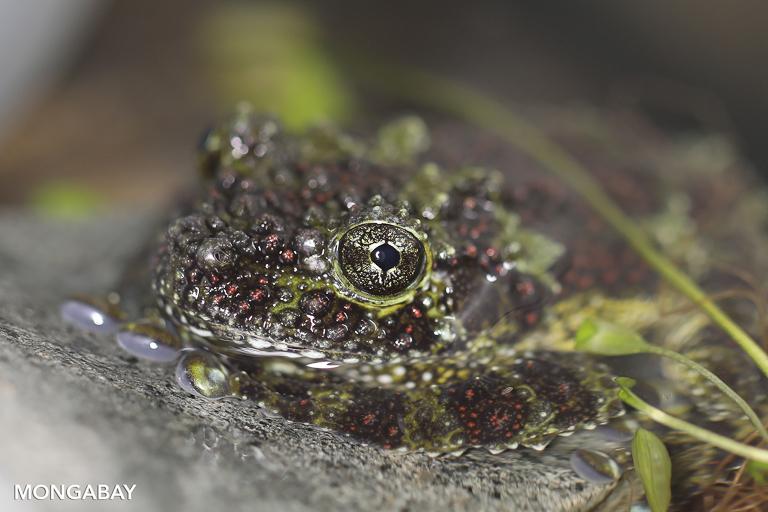 A Vietnamese mossy frog. Image by Rhett A. Butler/Mongabay.