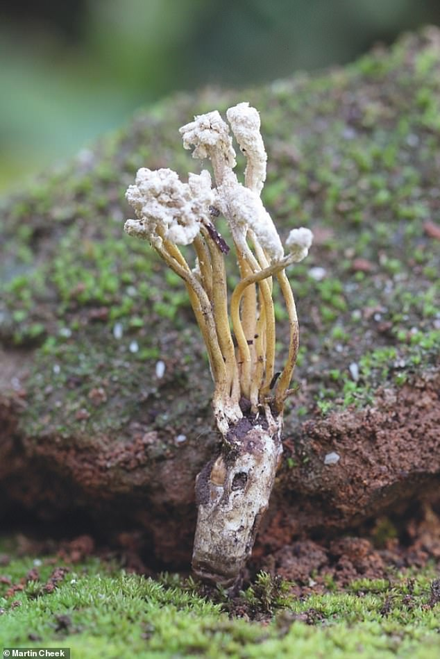 Cordyceps jakajanicola is a newly named fungal parasite of cicadas. Credit Martin Cheek