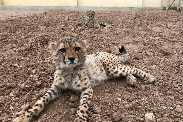 In the Horn of Africa, conflict and illegal trade create a 'cheetah hell'