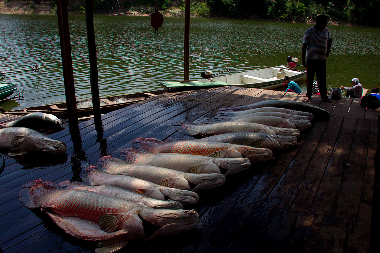 A community in Brazil harvests arapaima, the largest scaled freshwater fish in the world. Photo courtesy of Carlos Peres.