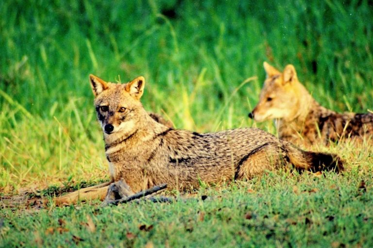 Deaths and media-driven panic threaten human-jackal coexistence in Sri Lanka