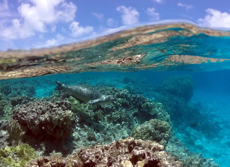 A monk seal swimming over a coral reef bottom in the Northwest Hawaiian Islands. Credit: NOAA/PIFSC/HMSRP via Flickr (CC BY 2.0).