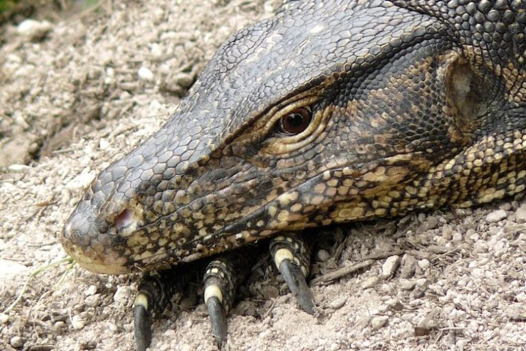 A Malayan water monitor (Varanus salvator) ponders the future of its habitat. Image by Yeowatzup via Wikimedia Commons (CC BY-SA 2.0).