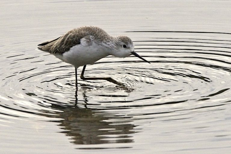 A marsh sandpiper (Tringa stagnatilis) at Sungei Buloh Wetland Reserve. Image by Lip Kee.