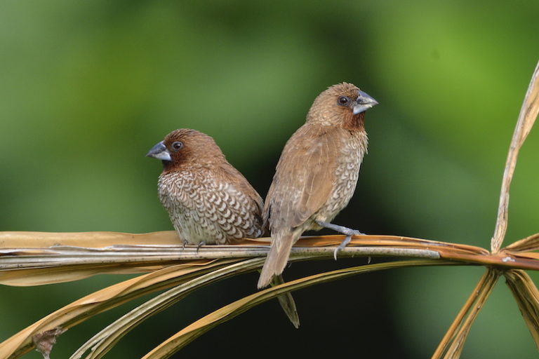 Scaly-breasted munia (Lonchura punctulata), one of the many bird species that inhabit Singapore's forests. Image by David Li.