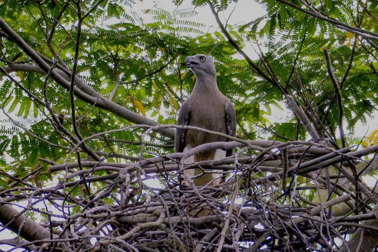 Grey-headed fish eagle. Image by David Li.