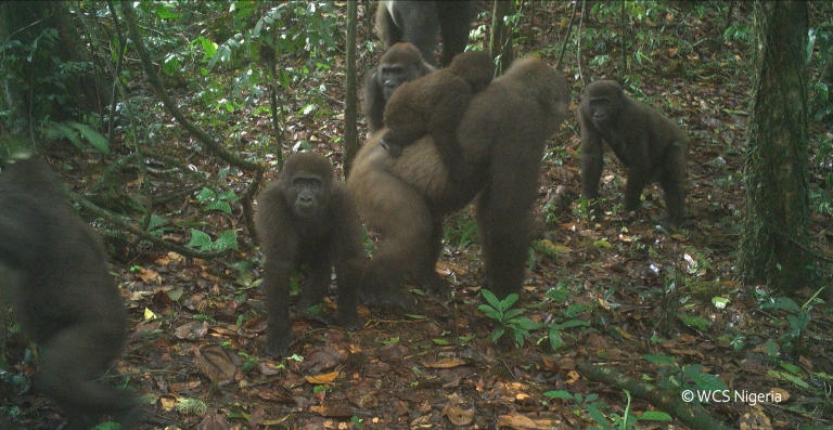 Cross River gorilla group including adults and young of different ages. Photo © WCS Nigeria.